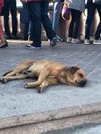 sleepy perro